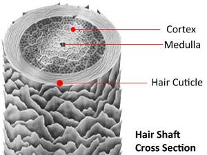 Sezione trasversale del capello