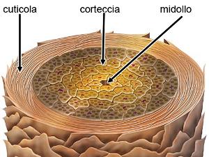Sezione capello: cuticola, corteccia, midollo.